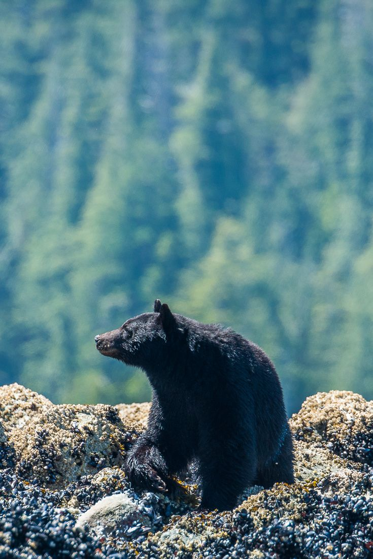 Black bear watching in Tofino, BC. More wildlife photos from British Columbia at: http://www.everintransit.com/black-bear-tour-tofino/