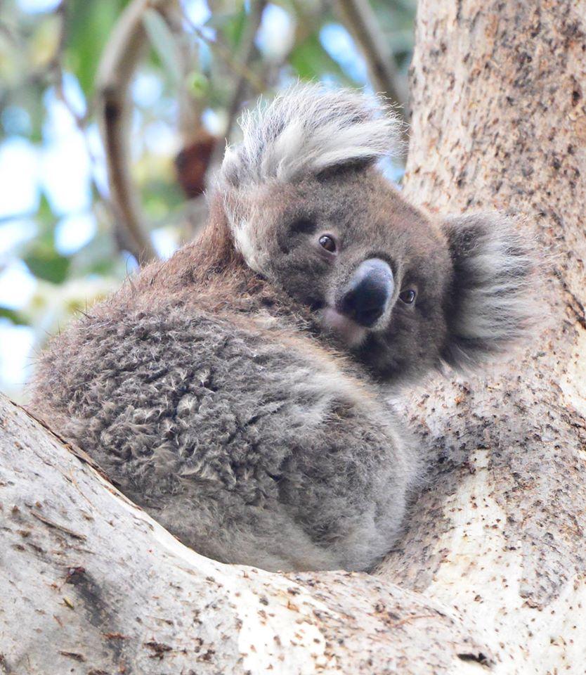 Hell Yeah Koalas Koalas Pinterest Animals Koala Marsupial And