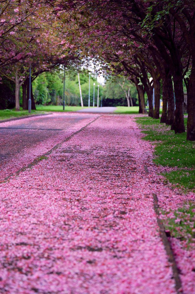 Cherry Blossom Fall Edinburgh Scotland Wonders Of The World Scotland