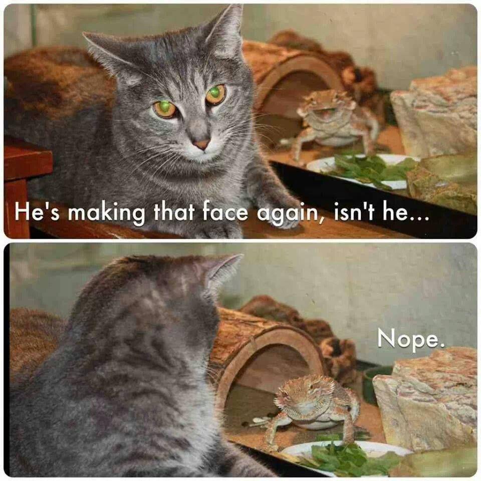 Cat Lizard Meme Funny Cat Wallpaper Animal Captions Cute Animals