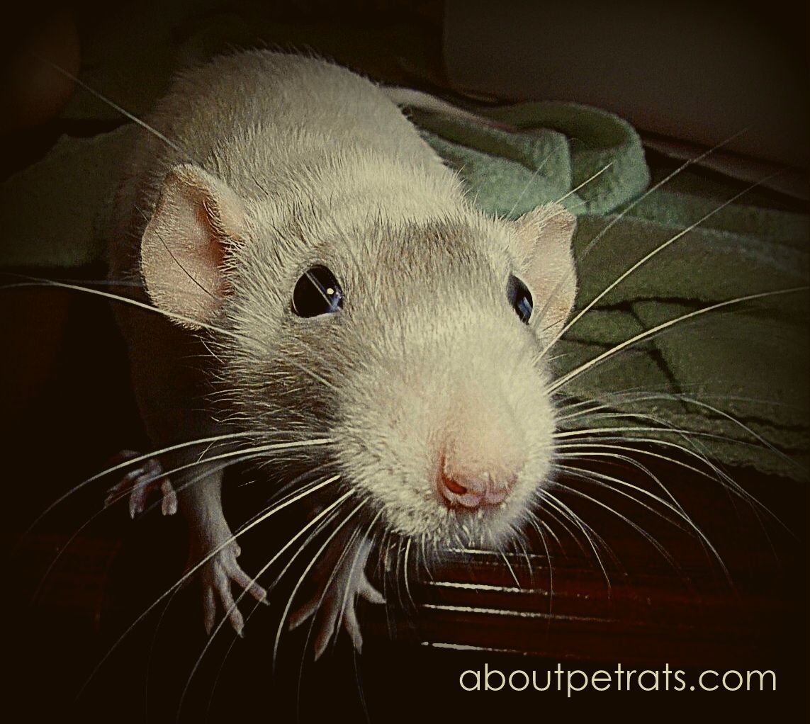 Pet rats are so inquisitive Pet rats, Animal free, Animals