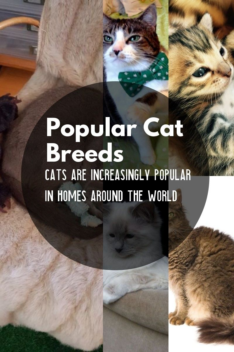 The Most Common Cat Breeds Cat breeds, Cats, Common cat
