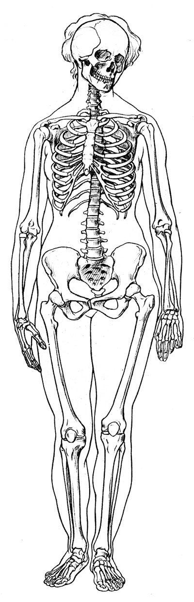 Labeled Skeleton Front View Of Female Skeleton Art Human