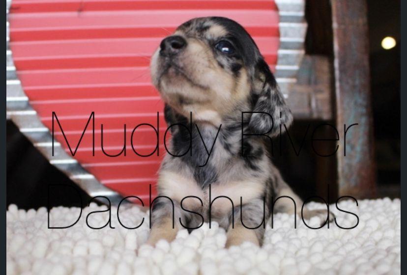 Dapple dachshund dachshund puppy miniature dachshund