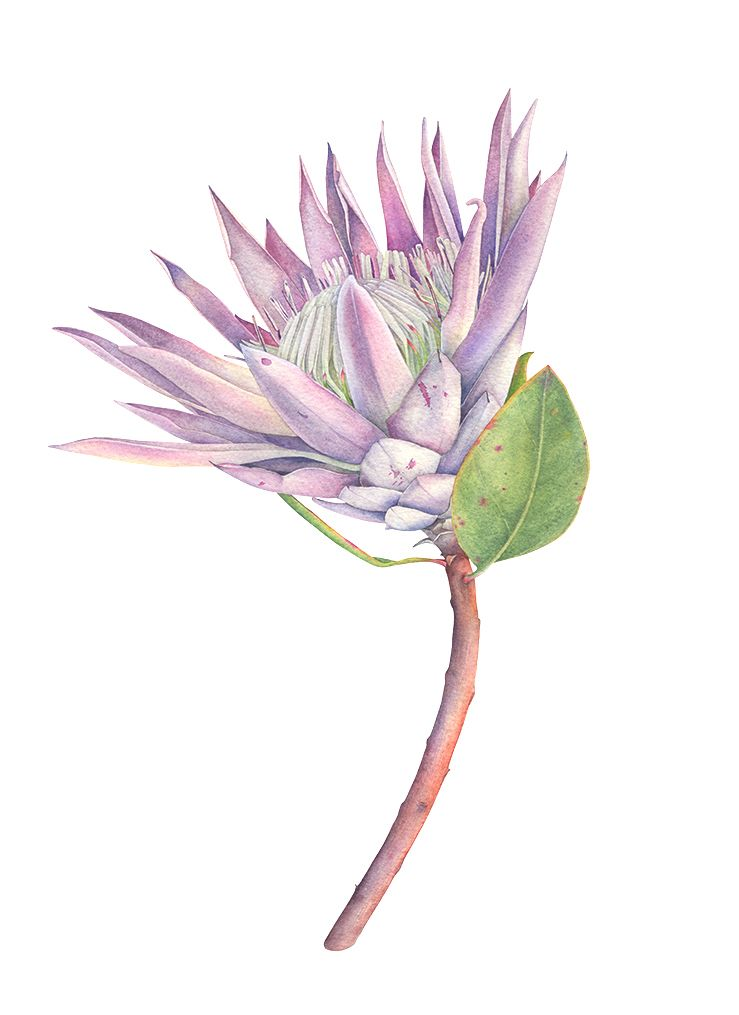 King Protea Watercolor Botanical Illustration On Behance Protea Art Protea Flower Botanical Illustration