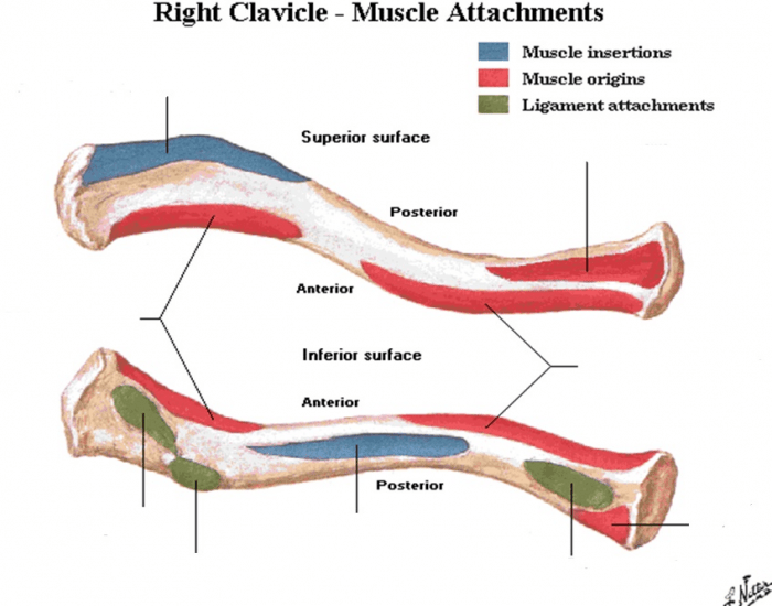 clavicle diagram pictures, photos & images | anatomy | anatomy, anatomy  study, human anatomy