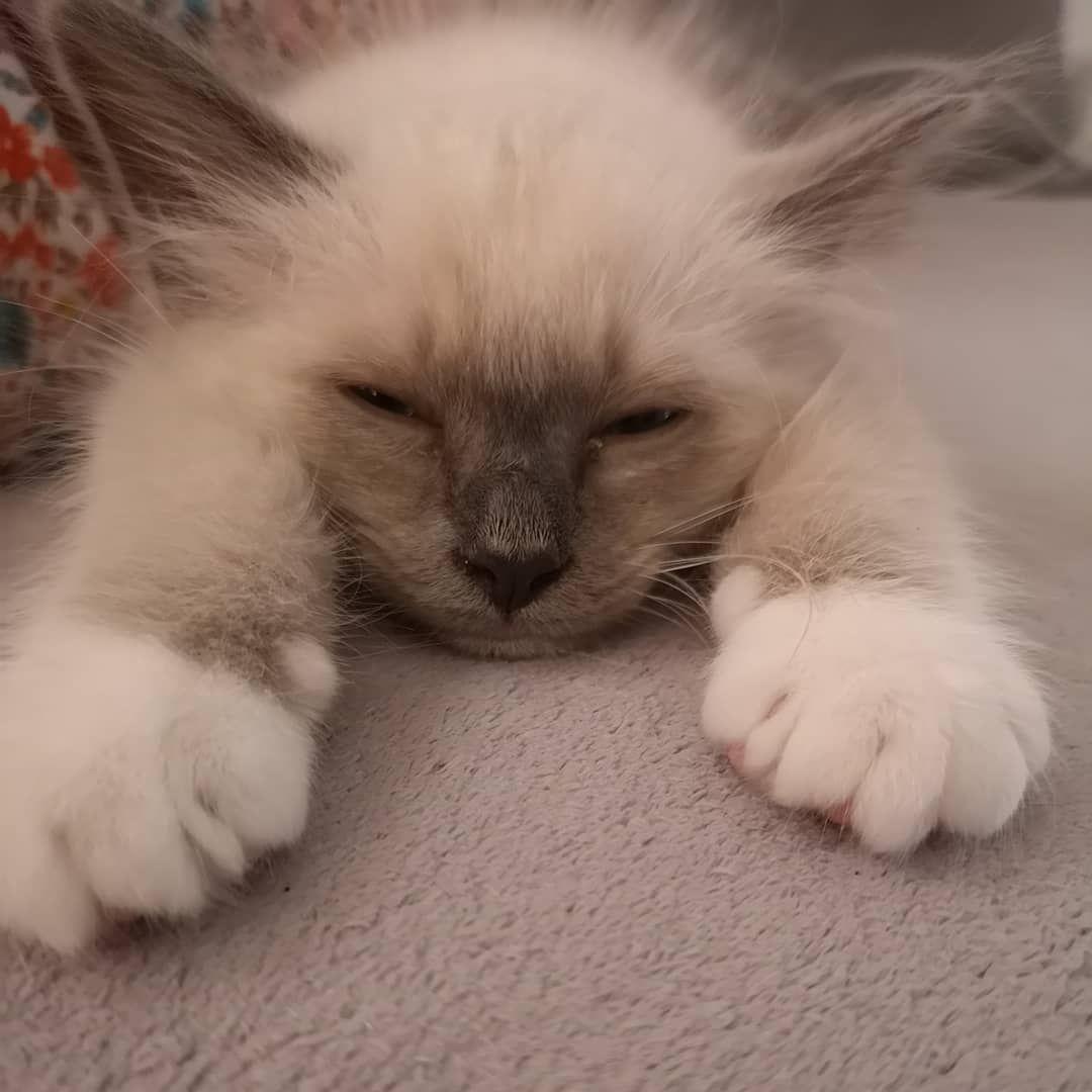 Sacredebirmanie Birmancat Birmankitten Catlover Catsofinstagram Cat Catsofday Catlover Catsofinstagram Cat Cat Birman Cat Cat Lifespan Birman Kittens