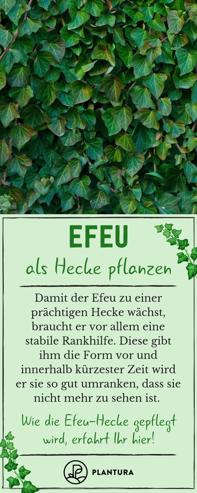 Efeu Alles Zum Pflanzen Pflegen Entfernen Der Kletterpflanze Plantura Efeu Pflanzen Hecke Pflanzen