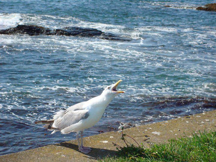 Screaming seagull :)