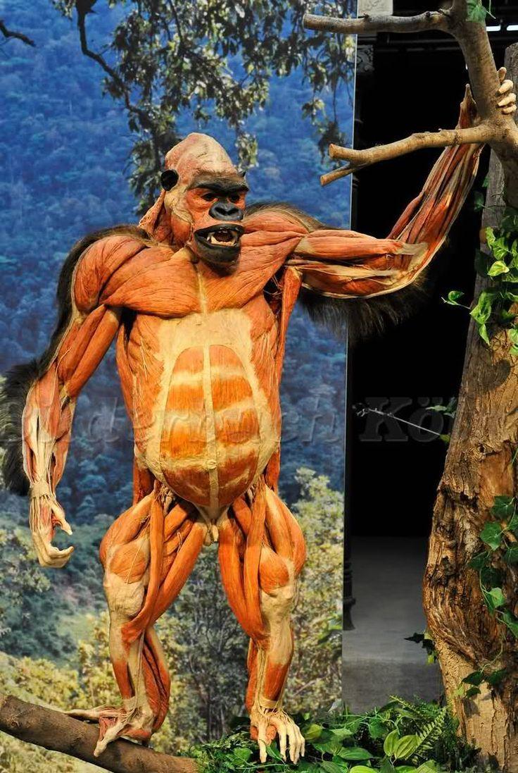 gorilla anatomy - Goog...