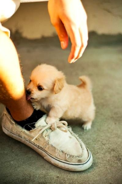 Baby golden retriever