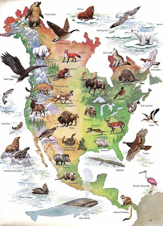 Map North American Wild Life Print Vintage Children S Book