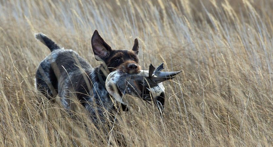 Hunting dogs come in all shapes and sizes, but you want the best traits in one hunting dog package. Here's a list of hunting dog traits to look for.