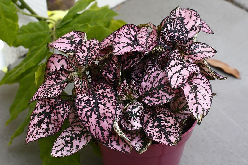 A Polka Dot Plant Or Pink Splash Is A Small Colorful Houseplant The