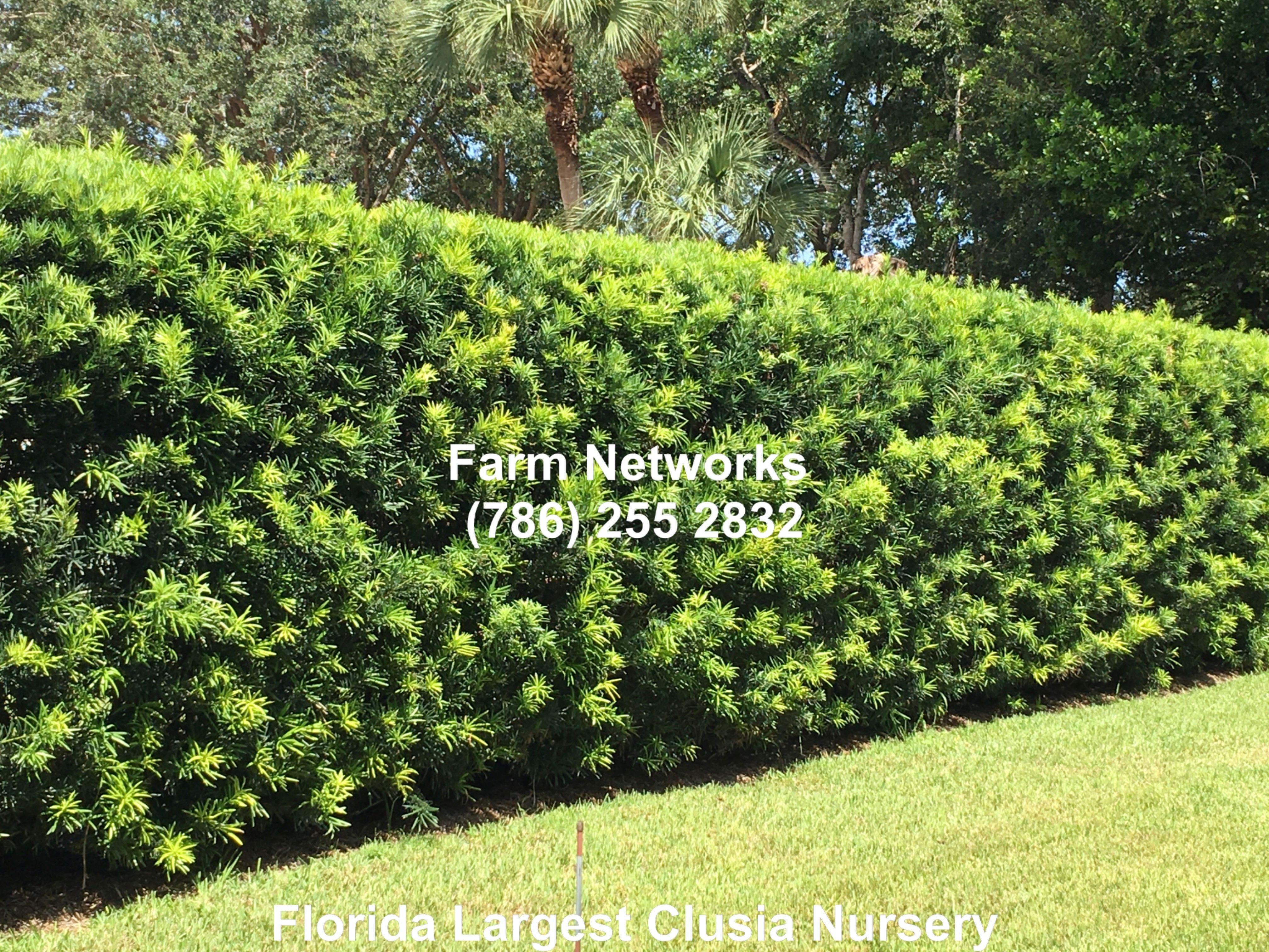 Podocarpus Hedge Pics | Podocarpus hedge, Hedges ...