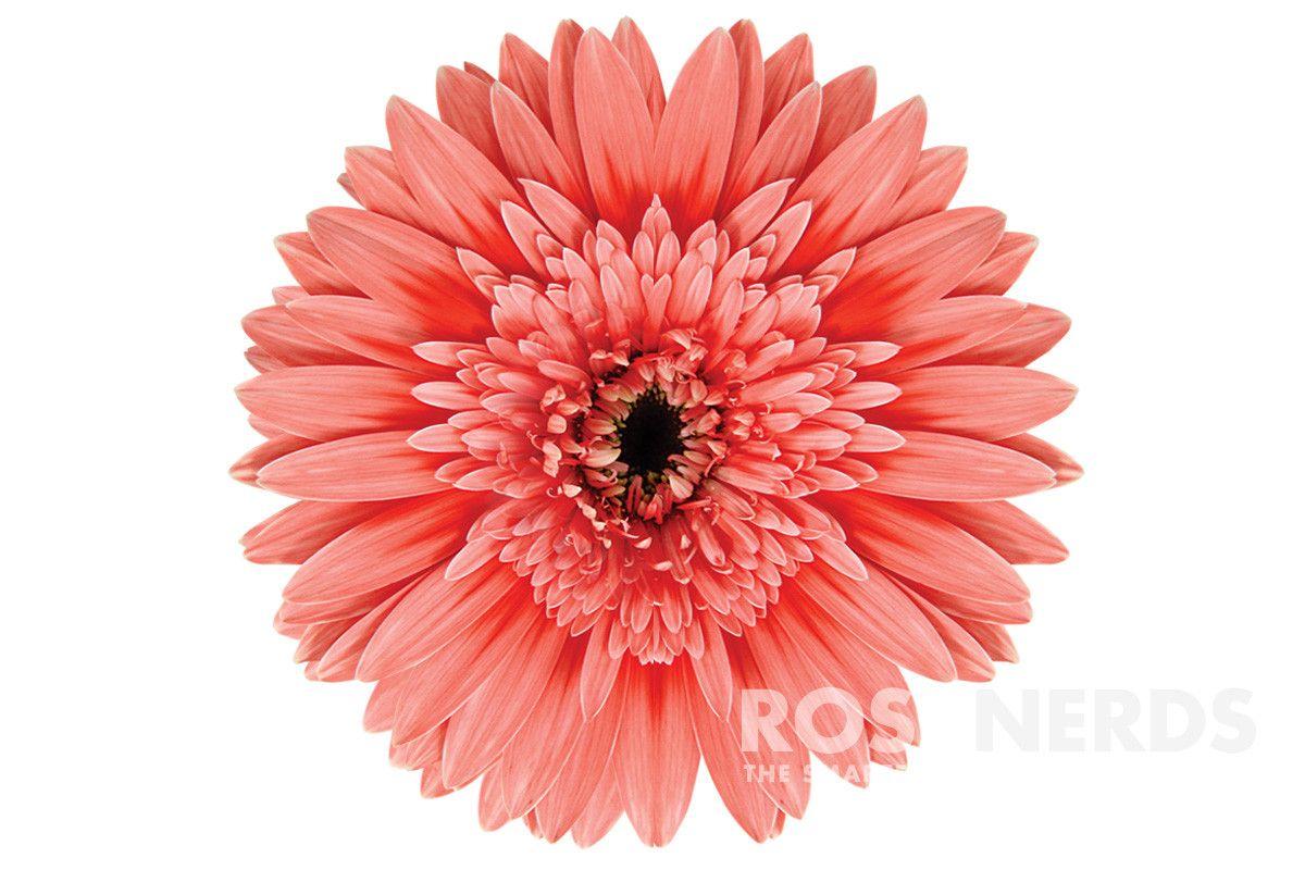 Rosenerds Wholesale Coral Color Enhanced Gerbera Daisies