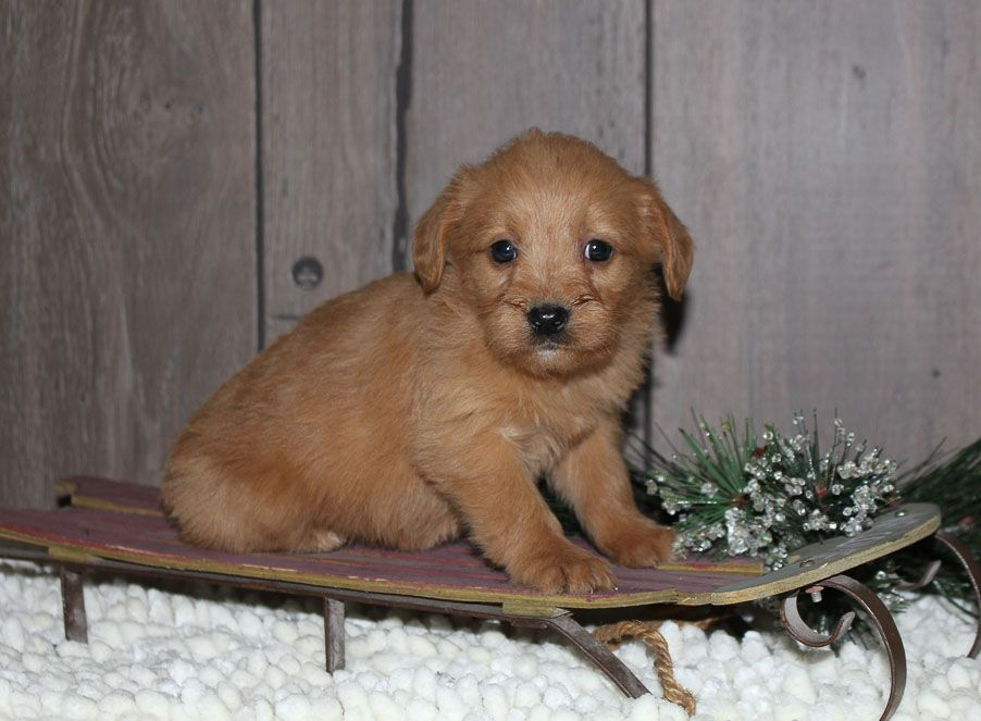 Lucy A Female Mini Labradoodle Puppy For Sale From New Haven Indiana Vip Puppies Labradoodle Puppy Mini Labradoodle Puppy Labradoodle