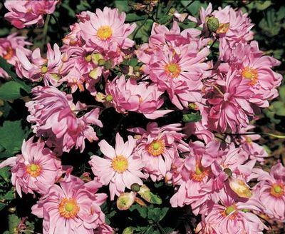 ***Japanese Anemone Party Dress: huge double pink fluffy flowers, twice the size of other Anemones, very prolific bloomer from late summer to late fall with attractive glossy green foliage 35-37 Inches Hardiness Zone: 4-8 Common Name: Japanese Anemone Superb perennial for late summer and autumn color. Plants grow best in moist, well-drained soil. Plant in mass near the back of the border for spectacular fall color.