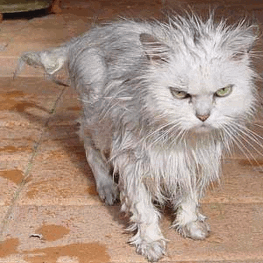 Funny Angry Cat Faces Google Search Cats Wet Cat Scary Cat