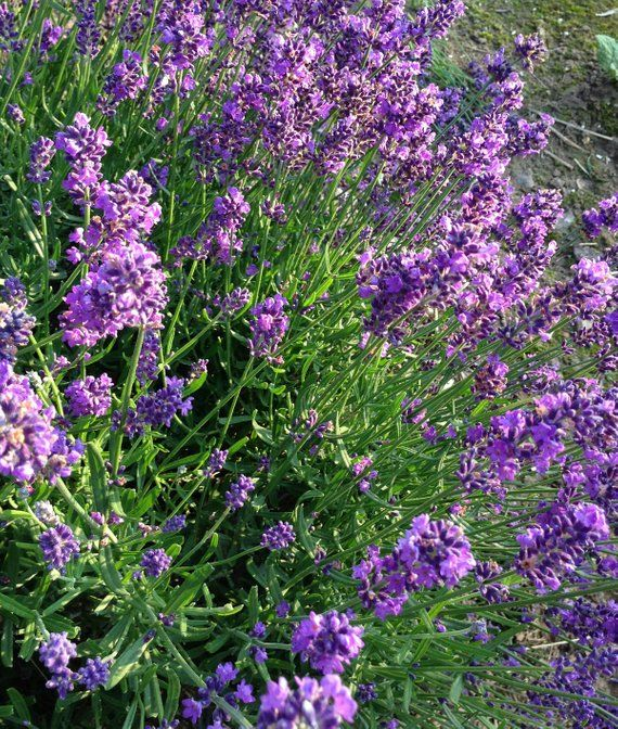 Organic Lavender Seeds English Lavender Seed Lavandula angustifolia Grow Your Own Fresh Lavender is part of English garden Lavender - organiclavenderseedkitherbgarden ref shop home feat 3  Mountainlilyfarm is a licensed plant nursery nestled in the Ozark Mountains  I garden without the use of pesticides or synthetic fertilizers