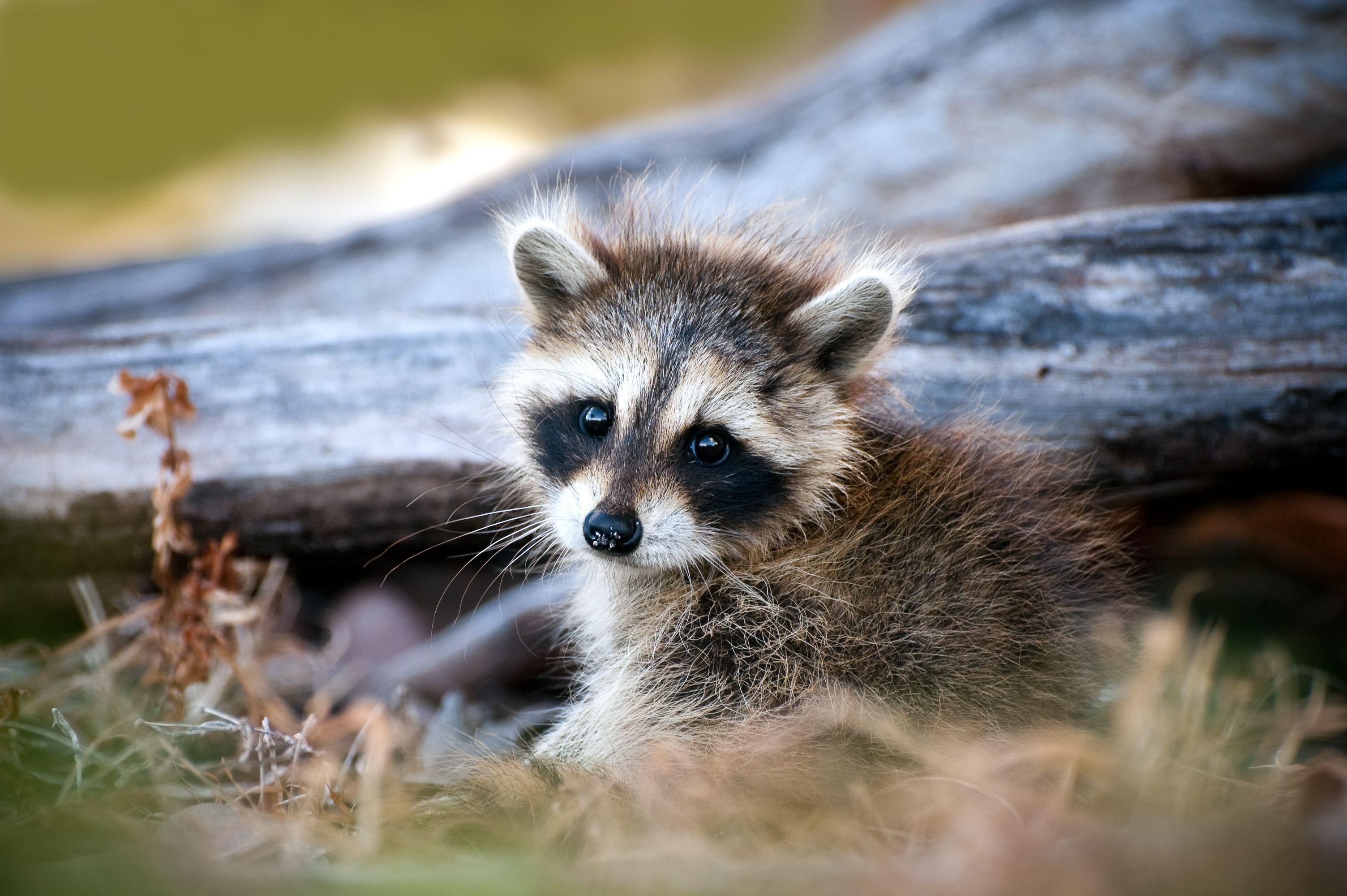 A cute baby raccoon in the woods Cute raccoon, Cute