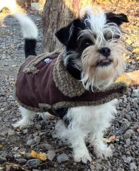 Adopt Otis On Terrier Dogs Toy Fox Terriers Pekingese