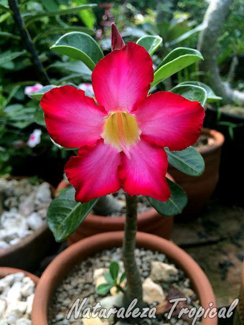Planta llamada popularmente como rosa del desierto for Plantas exterior sol