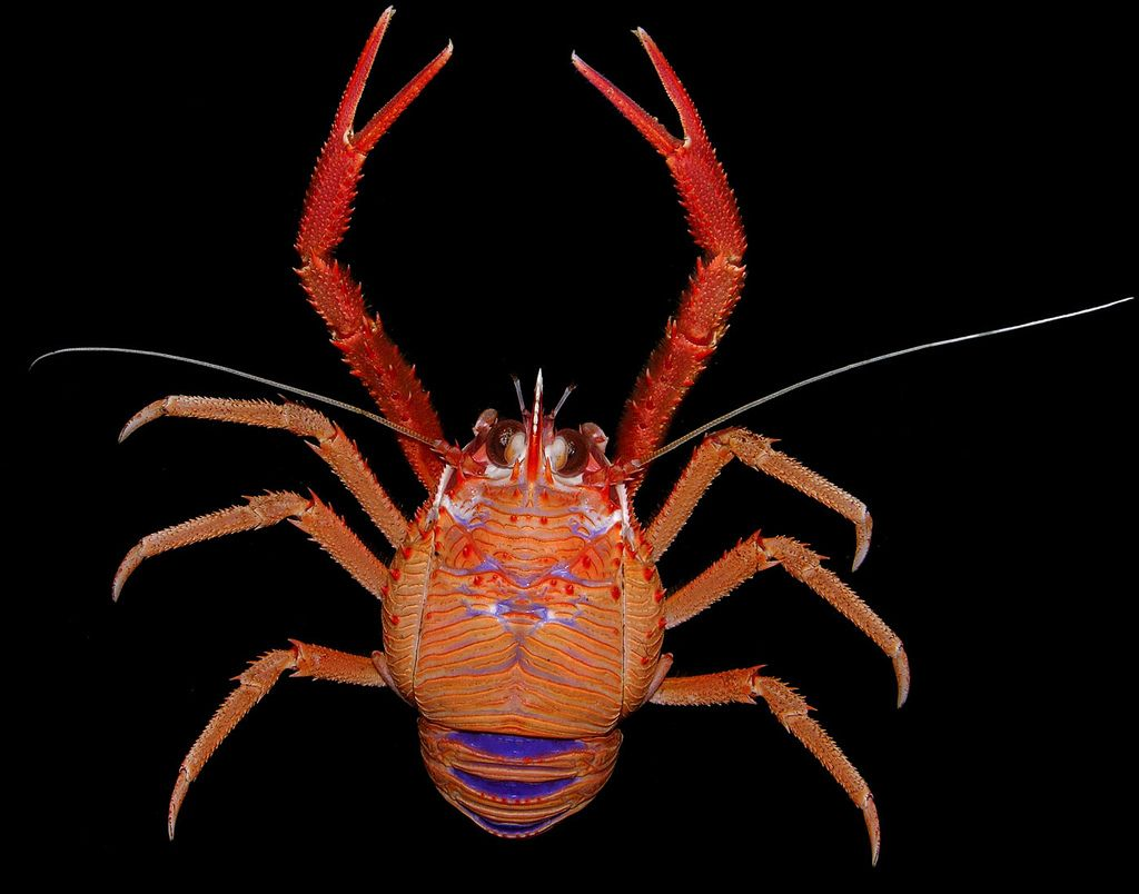 Cervimunida johni, a spectacular squat lobster from Chile