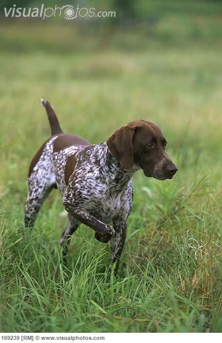 Liver and white GSP | Dogs | Dogs, German shorthaired ...