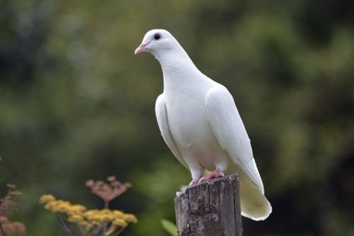 Image from http://www.buzzle.com/images/animal-kingdom/birds/peaceful-dove.jpg.