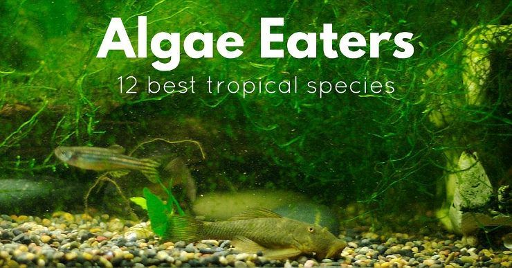 how to get rid of orange algae in fish tank