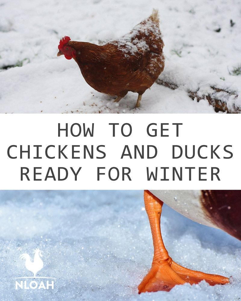 How To Get Chickens And Ducks Ready For Winter
