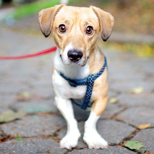 Steve Dachshund Corgi Jack Russell Terrier Mix Jack Russell