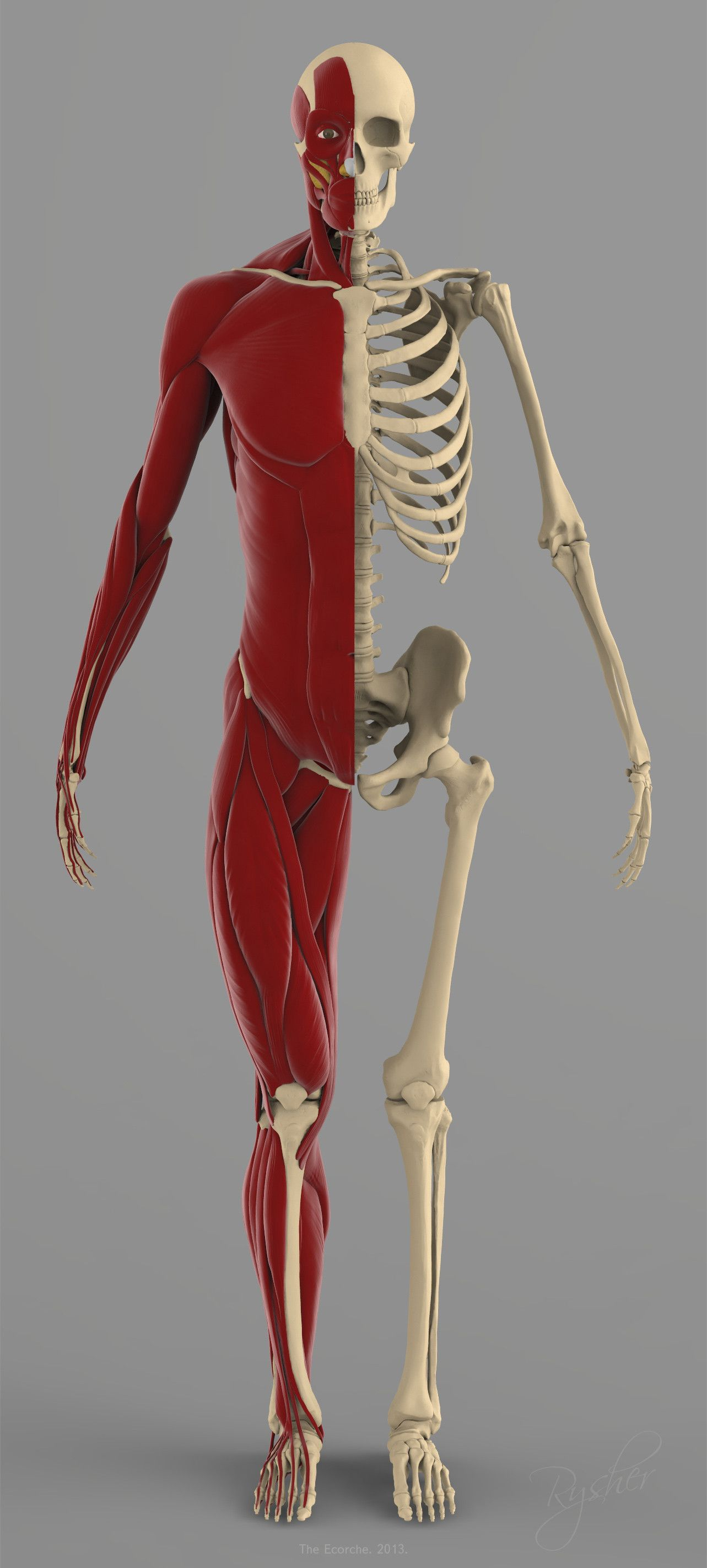 precise human skeleton muscles 3d model | ideas para dibujar ...