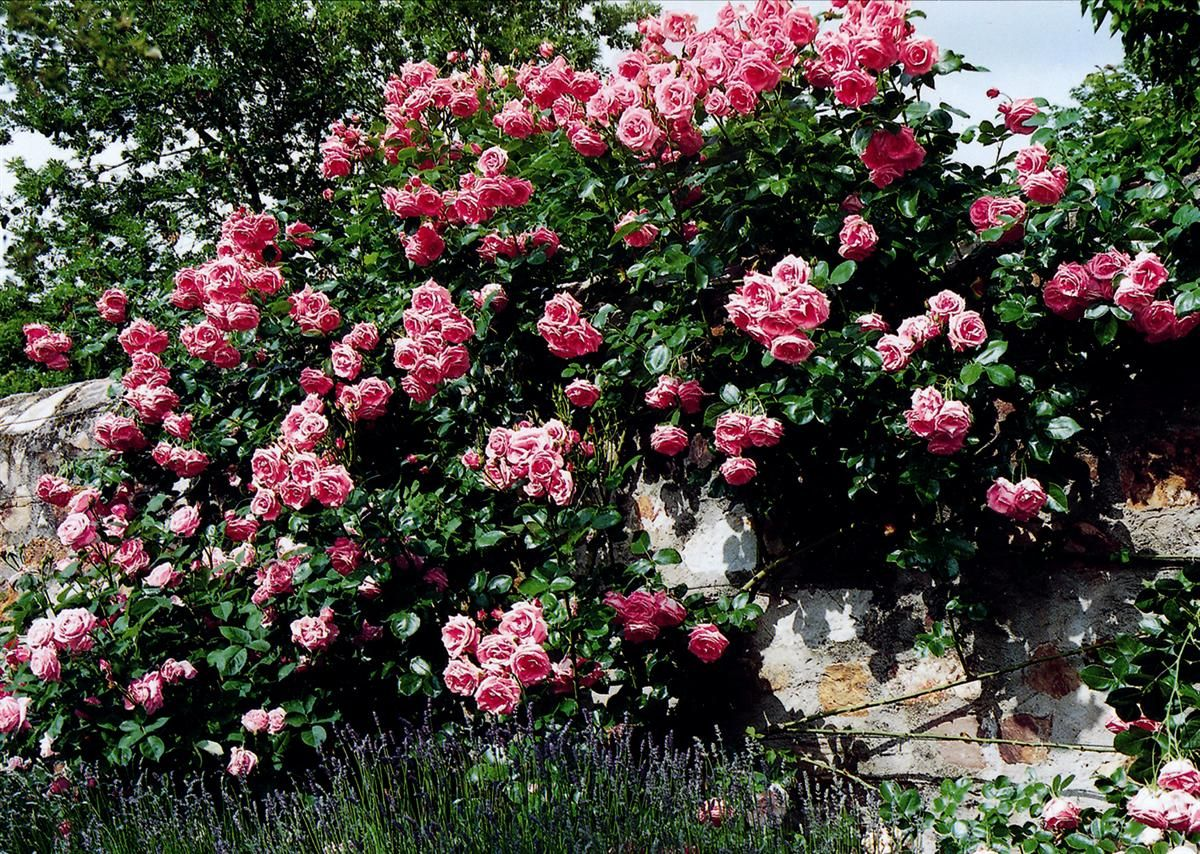 kletterrose lawinia roses climbing pinterest. Black Bedroom Furniture Sets. Home Design Ideas
