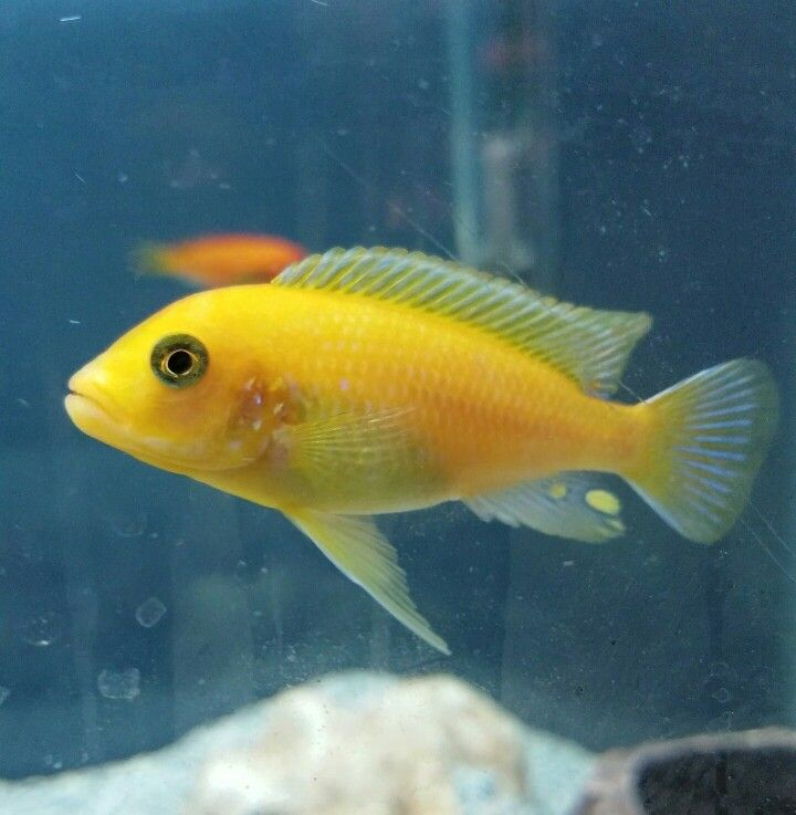 My Yellow Lab Cichlid Cichlids Freshwater Aquarium Fish Pet