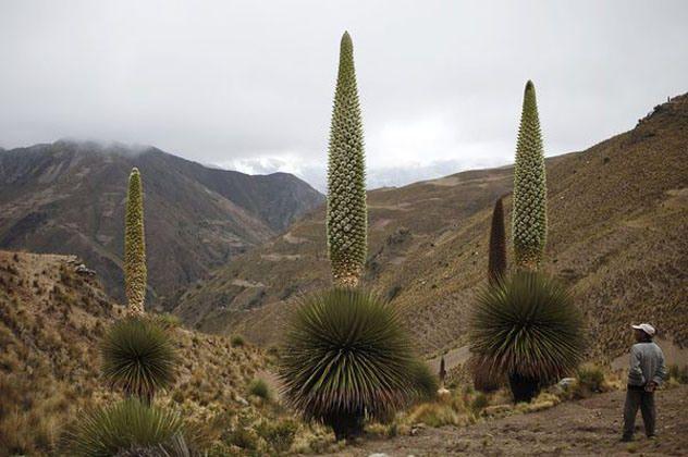 10 самых редкоцветущих растений (11 фото) » Невседома - жизнь полна развлечений   . Королева Анд  Королева Анд (Puya raimondii) всегда мешает росту другой растительности Анд, но когда она, наконец, зацветает (через 80-150 лет), она вырастает до 12 метров в высоту и по-настоящему выглядит как супер растение. Удивительно, но она растет так далеко в регионах с суровым климатом и на очень больших высотах, что кажется невозможным цветение для любого другого растения.