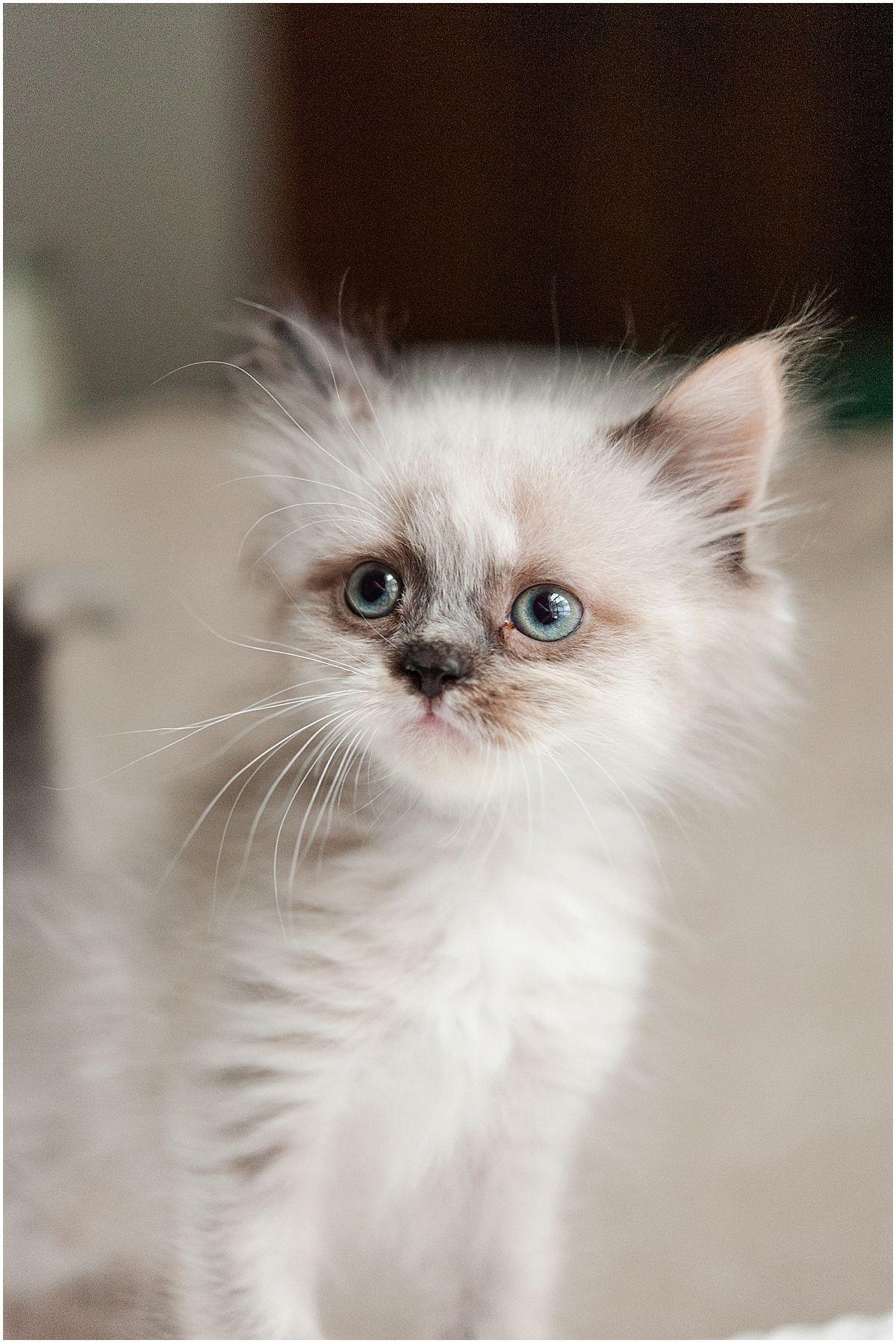 Ragamuffin Kitten Columbus Ohio Krista Piper Ragamuffin