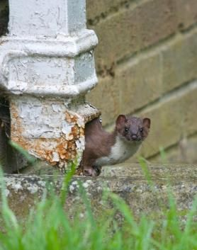 Adrian Hinchliffe took this picture of a stoat near Braintree in Essex, England, which landed him in third place.