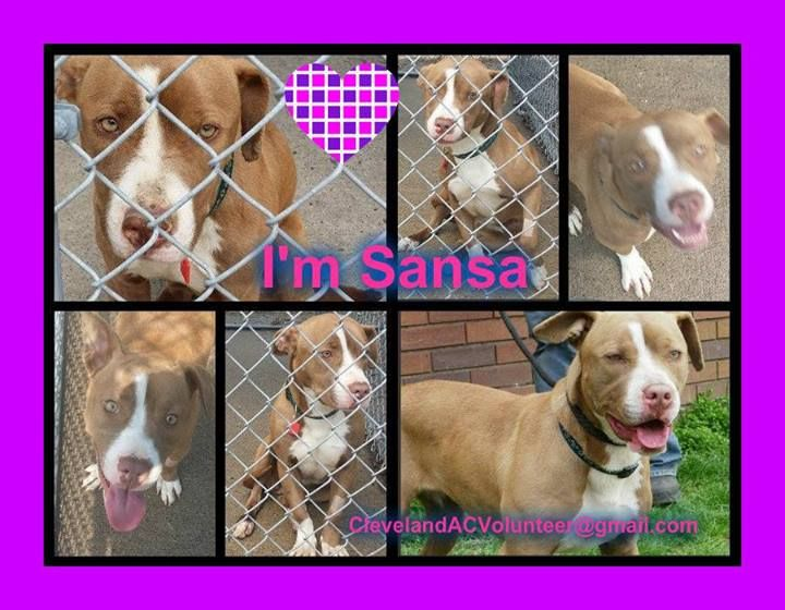 Cleveland Ohio Urgent Needs Foster Rescue Adopter Email Clevelandacvolunteer Gmail Com For Info K 53 Sansa Is A 1 Year O Lap Dogs Dog Adoption The Fosters