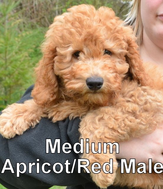 This Adorable Medium Apricot Red Male Is Currently Available For More Information About This Labradoodle Puppy Pet Dogs Puppies Australian Labradoodle Puppies