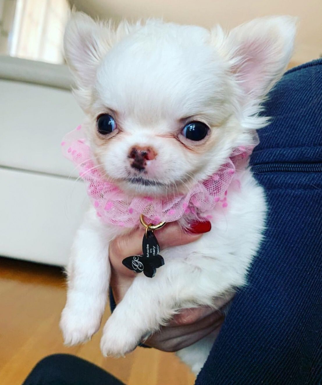 Super Cute Chihuahua Chihuahua Dogs Chihuahua Toy Dog Breeds