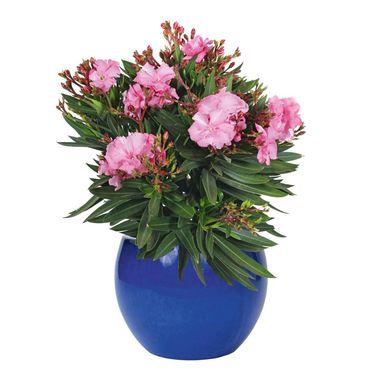 Oleander Mix 30 40 Cm Kwiaty Balkonowe I Ogrodowe W Atrakcyjnej Cenie W Sklepach Leroy Merlin Oleander Vase 40th