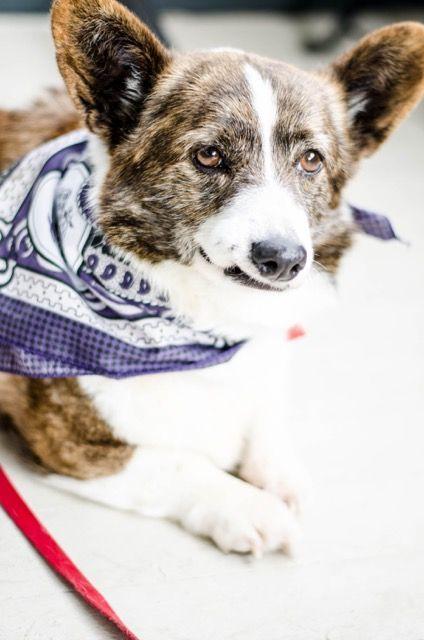 Cardigan Welsh dog for Adoption in Eden Prairie, MN