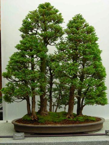 Chicago Botanic Garden Collection Bonsai Tree Bonsai Forest Indoor Bonsai