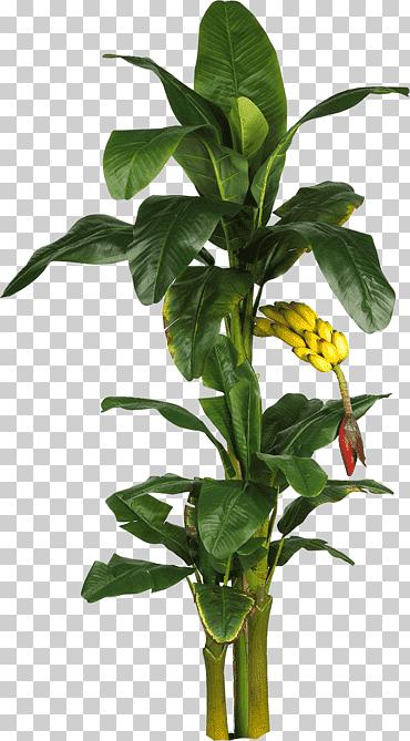 Banana Plant Illustration Latundan Banana Tree Plant Leaf Banana Leaves Branch Tropical Fruit Artificial Flower Pn In 2021 Trees To Plant Plant Leaves Grape Plant
