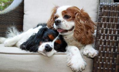 Best 25+ Cavalier rescue ideas on Pinterest   Cavalier ... - photo#31