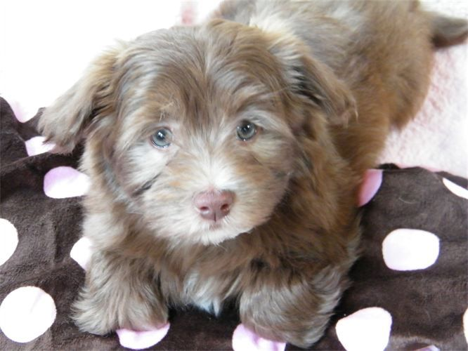 Pure Breed Havanese Previous Puppies Chanhassen Mn Puppies Havanese Dog Cat