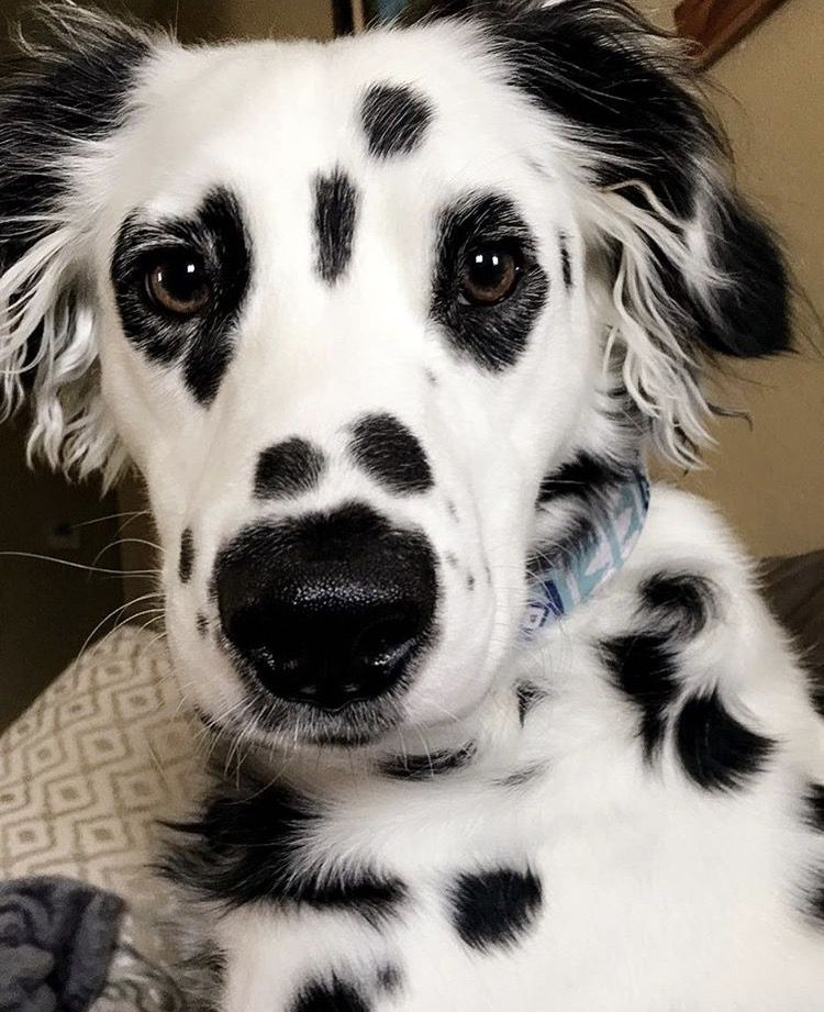 Dalmation Long Haired Dog Dogs Cute Dogs Beautiful Dogs