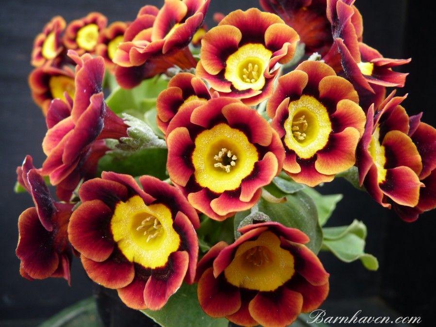 Yellow Border Auricula Seeds Hybrid Alpine Primula 2019
